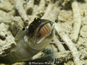 Goby by Mariano Ma&#241;as 